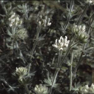 Photographie n°2259250 du taxon Lotus hirsutus L. [1753]