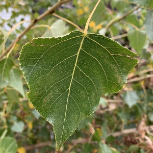 Photographie n°2259510 du taxon Populus nigra L.