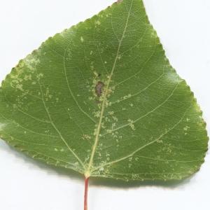 Photographie n°2259512 du taxon Populus nigra L.