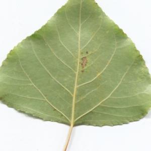 Photographie n°2259513 du taxon Populus nigra L.