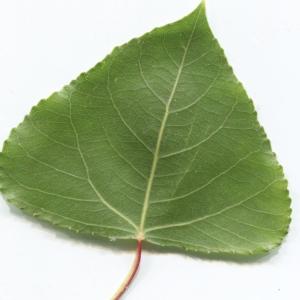 Photographie n°2259516 du taxon Populus nigra L.