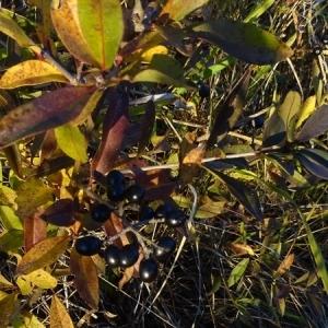 Photographie n°2259579 du taxon Ligustrum vulgare L. [1753]