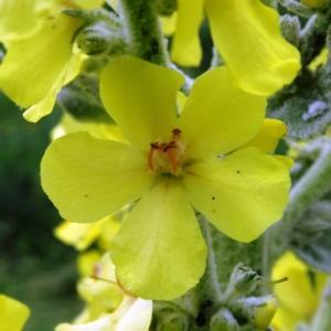 Photographie n°2259603 du taxon Verbascum pulverulentum Vill.