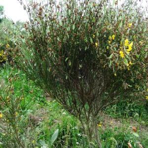 Photographie n°2259674 du taxon Cytisus scoparius subsp. scoparius