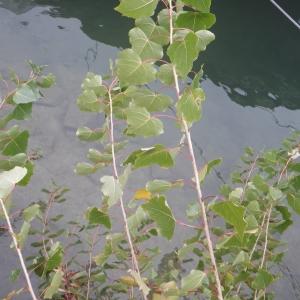 Photographie n°2259702 du taxon Populus nigra L.