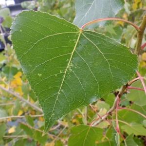 Photographie n°2259703 du taxon Populus nigra L.