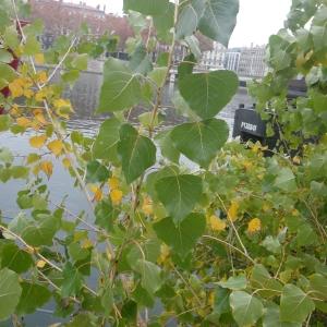 Photographie n°2259705 du taxon Populus nigra L.