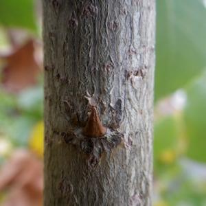 Photographie n°2259708 du taxon Populus nigra L.