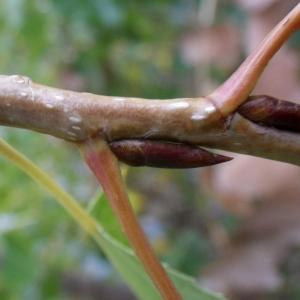 Photographie n°2259709 du taxon Populus nigra L.