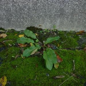 Photographie n°2259744 du taxon Rumex à feuilles obtuses