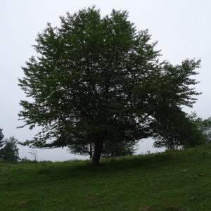Photographie n°2259833 du taxon Prunus avium (L.) L. [1755]
