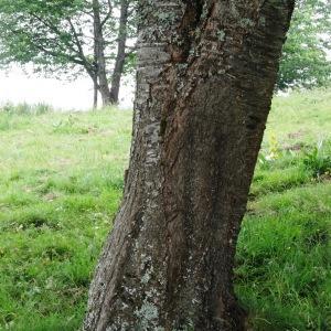 Photographie n°2259835 du taxon Prunus avium (L.) L. [1755]