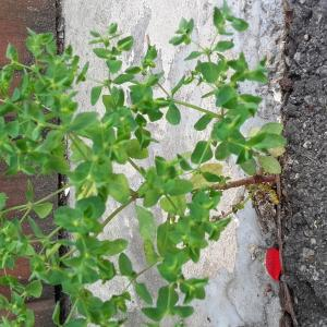 Photographie n°2259999 du taxon Euphorbe des jardins