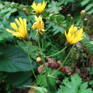 - Hieracium neocerinthe Fr. [1848]