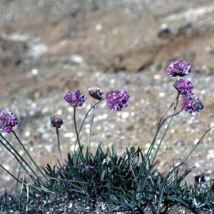 Photographie n°2260218 du taxon Armeria alpina Willd. [1809]