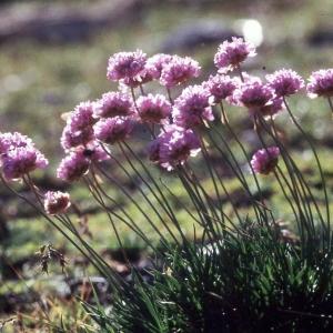 Photographie n°2260219 du taxon Armeria alpina Willd. [1809]