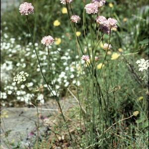 Photographie n°2260228 du taxon Armeria alpina Willd. [1809]