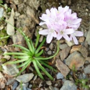 Photographie n°2260500 du taxon Armeria alpina Willd. [1809]