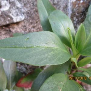 Photographie n°2260531 du taxon Centranthus ruber (L.) DC. [1805]