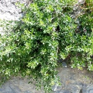 Photographie n°2260695 du taxon Cytisus ardoinoi subsp. sauzeanus (Bumat & Briq.) Auvray