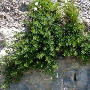 Photographie n°2260696 du taxon Cytisus ardoinoi subsp. sauzeanus (Bumat & Briq.) Auvray