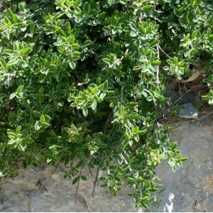 Cytisus sauzeanus Burnat & Briq. (Cytise de Sauze)