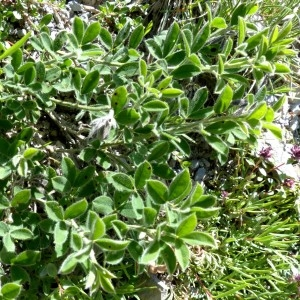 - Cytisus ardoinoi subsp. sauzeanus (Bumat & Briq.) Auvray [2013]
