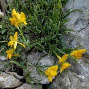 Photographie n°2260704 du taxon Genista delphinensis Verl. [1872]