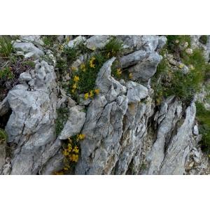 Genista delphinensis Verl. (Genêt ailé du Dauphiné)