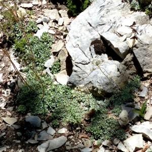 Photographie n°2260811 du taxon Saxifraga paniculata Mill.