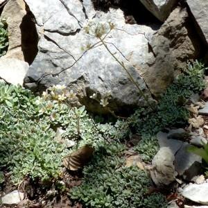 Photographie n°2260812 du taxon Saxifraga paniculata Mill.