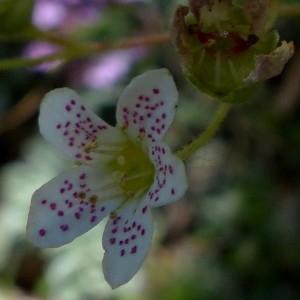 Photographie n°2260823 du taxon Saxifraga paniculata Mill.