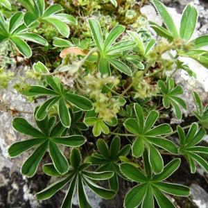 Photographie n°2260907 du taxon Potentilla alchemilloides Lapeyr. [1782]