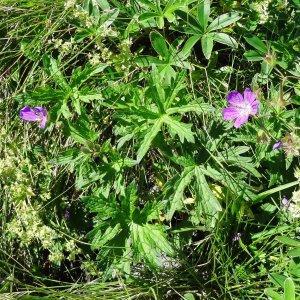 Photographie n°2261191 du taxon Geranium palustre L.
