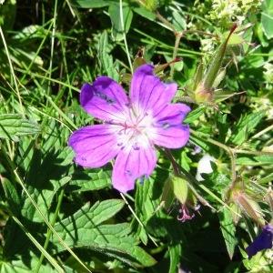 Photographie n°2261193 du taxon Geranium palustre L.