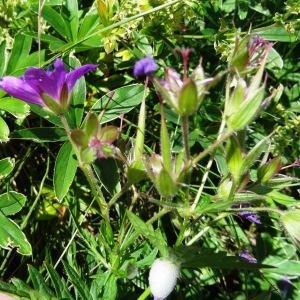 Photographie n°2261194 du taxon Geranium palustre L.