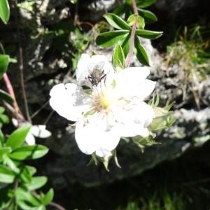 Photographie n°2261360 du taxon Potentilla alchemilloides Lapeyr. [1782]
