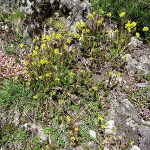 Photographie n°2261402 du taxon Sedum rupestre L. [1753]