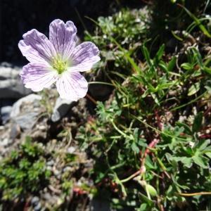 Photographie n°2261686 du taxon Geranium cinereum Cav. [1787]