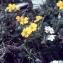 Liliane Roubaudi - Helianthemum italicum var. alpestre (Jacq.) Gren. [1848]