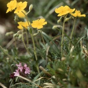 - Helianthemum italicum var. alpestre (Jacq.) Gren. [1848]