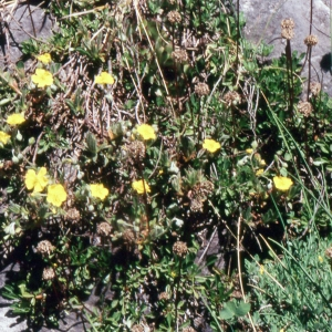 Helianthemum italicum var. alpestre (Jacq.) Gren. (Hélianthème alpestre)