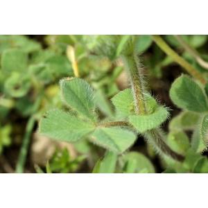 Trifolium sylvaticum Gérard ex Loisel. (Trèfle des bois)