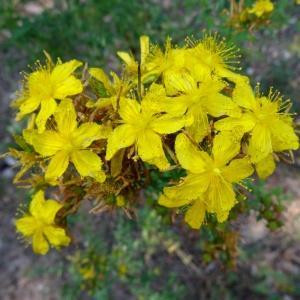 Photographie n°2262104 du taxon Hypericum perforatum var. angustifolium DC.