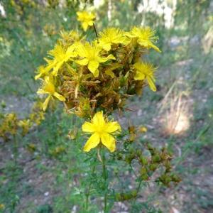 Photographie n°2262105 du taxon Hypericum perforatum var. angustifolium DC.