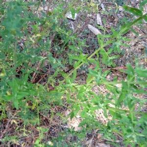 Photographie n°2262106 du taxon Hypericum perforatum var. angustifolium DC.
