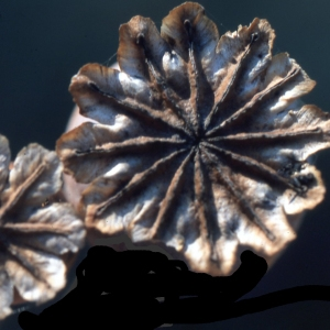 Photographie n°2262370 du taxon Papaver somniferum L. [1753]