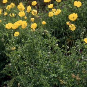 Photographie n°2262373 du taxon Meconopsis cambrica (L.) Vig. [1814]
