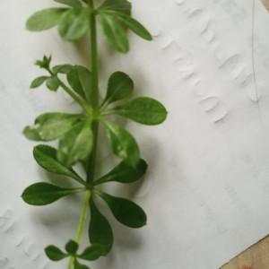 Photographie n°2262483 du taxon Galium verrucosum Huds. [1767]