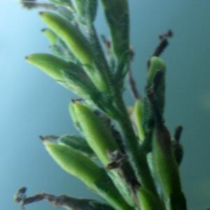 Photographie n°2262710 du taxon Buddleja davidii Franch.